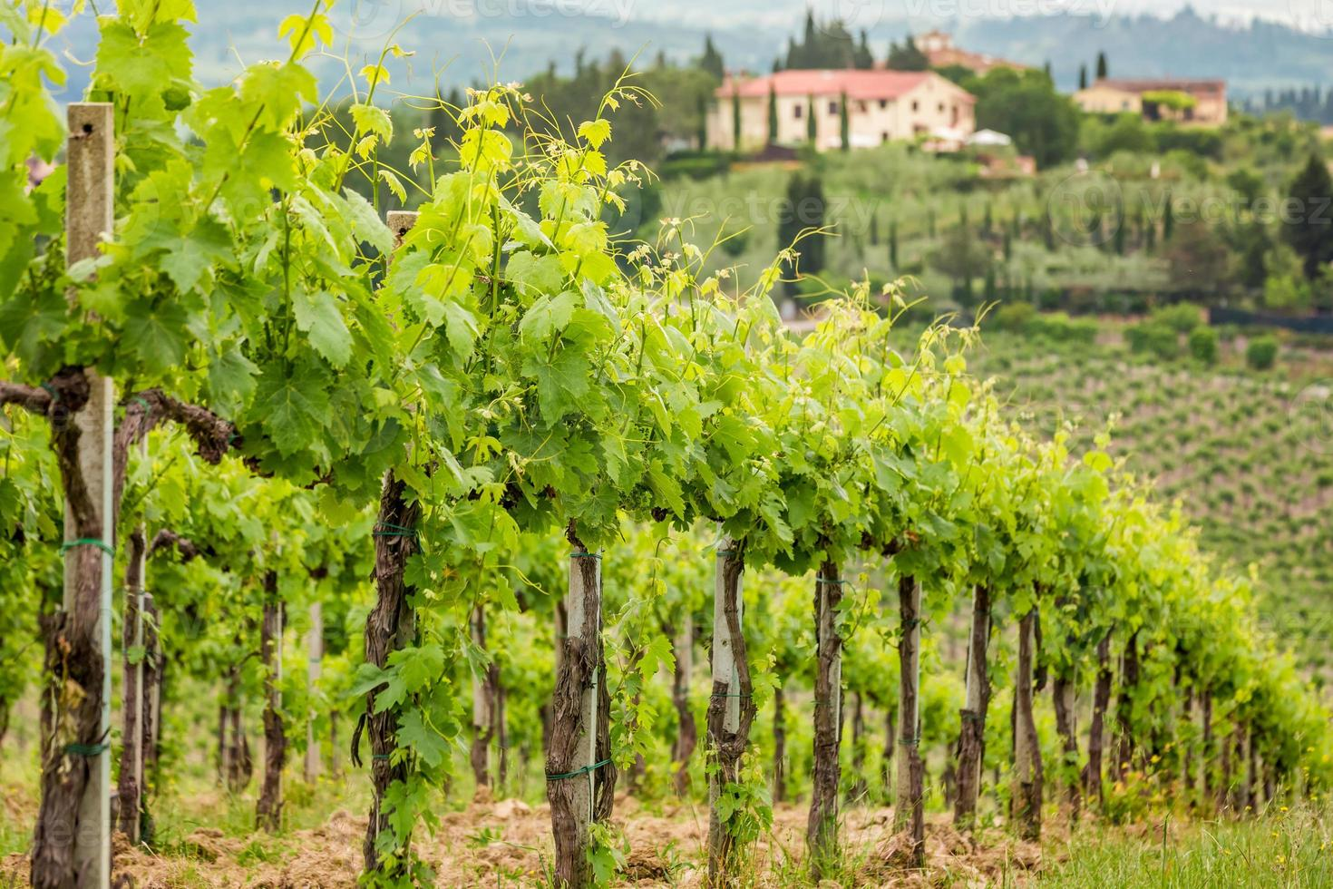 Field of vines in Tuscany photo
