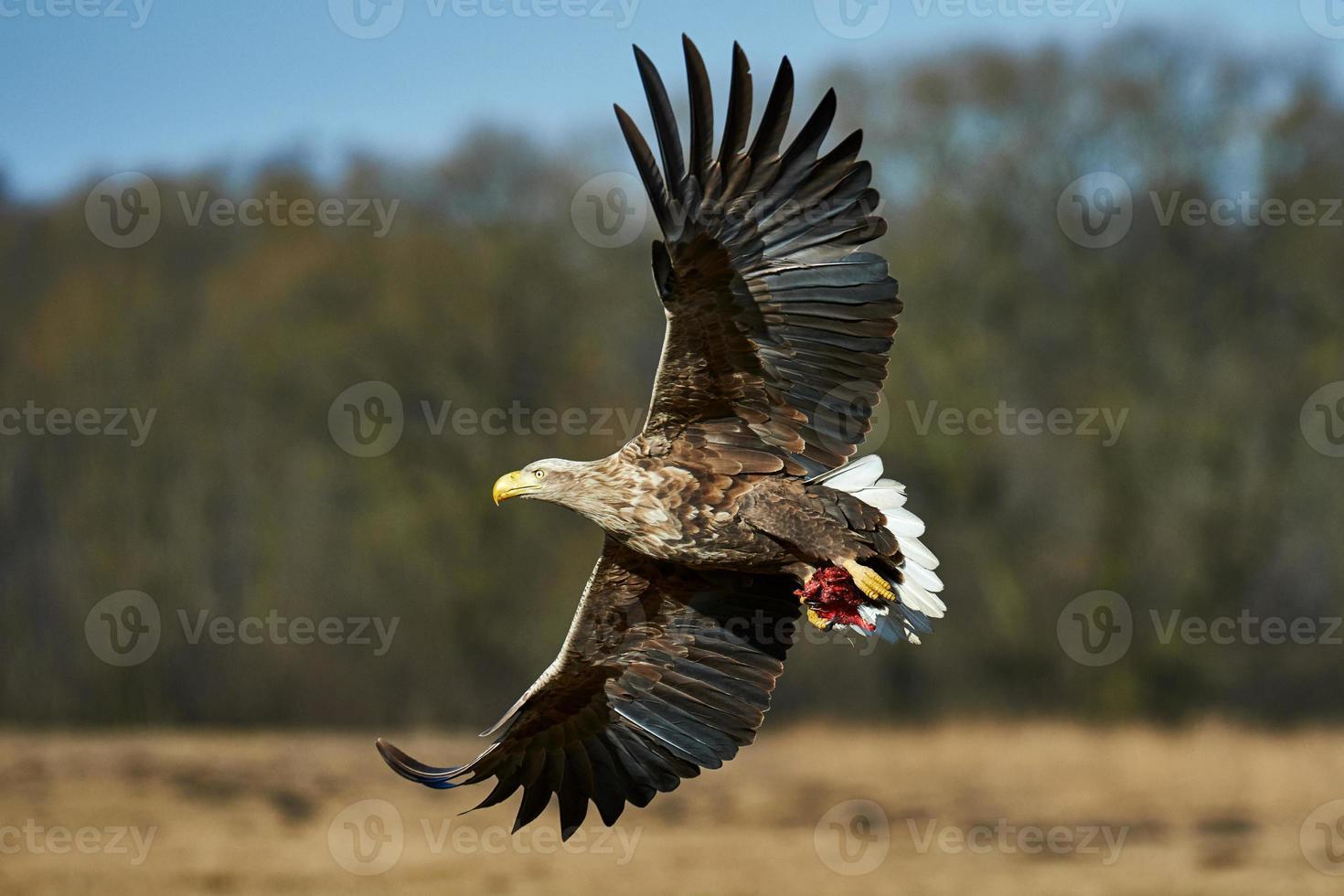 Eagle in flight photo