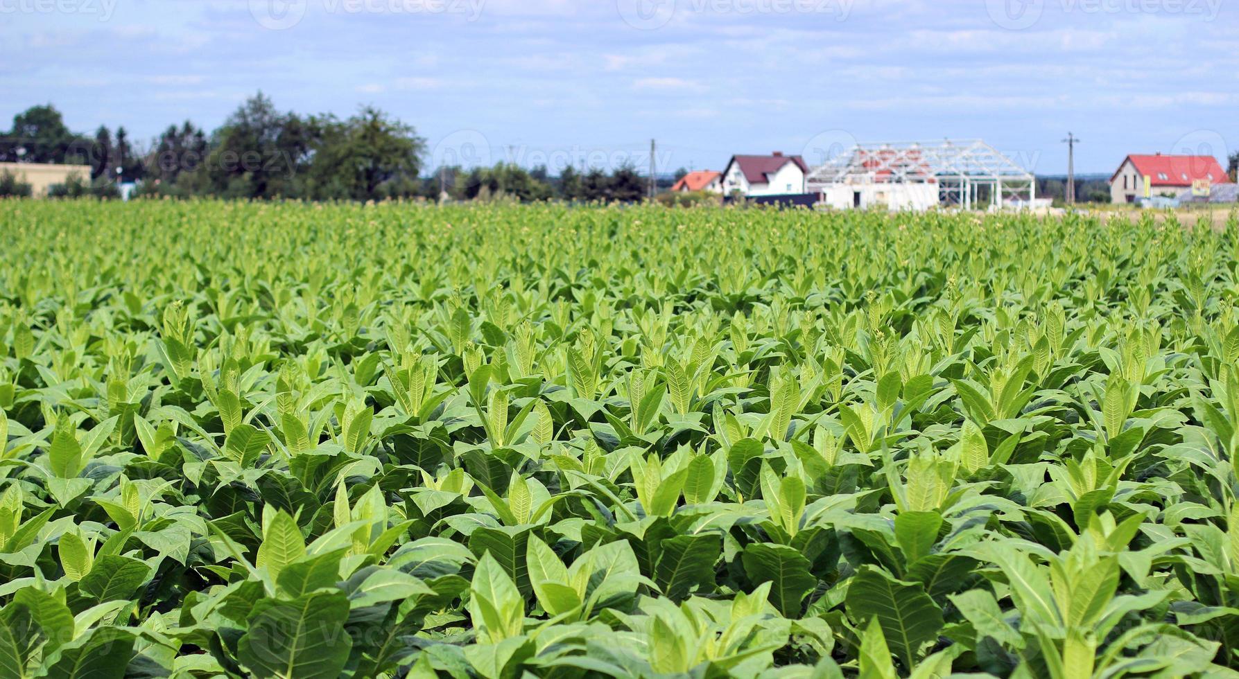 cultivo de tabaco em um campo na polônia foto