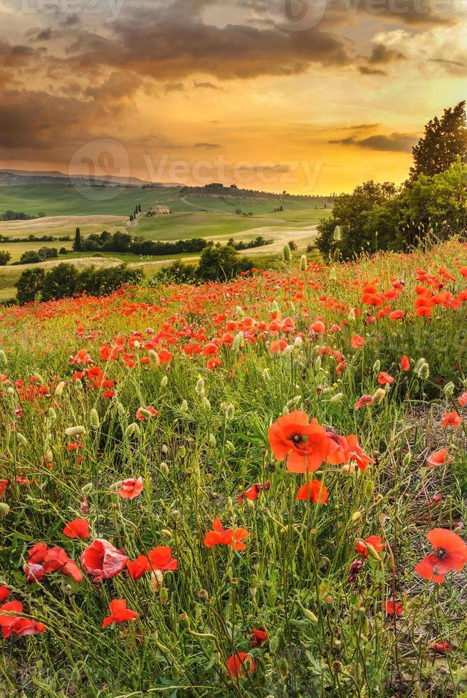 Poppies in the Tuscan hills with a beautiful sunset, Pienza photo