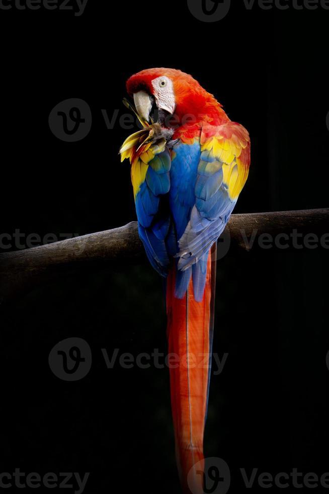 Loro colorido en la rama de un árbol, aislado sobre fondo negro foto