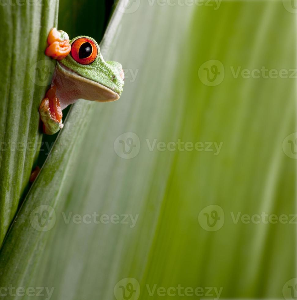rana arborícola de ojos rojos asomando foto
