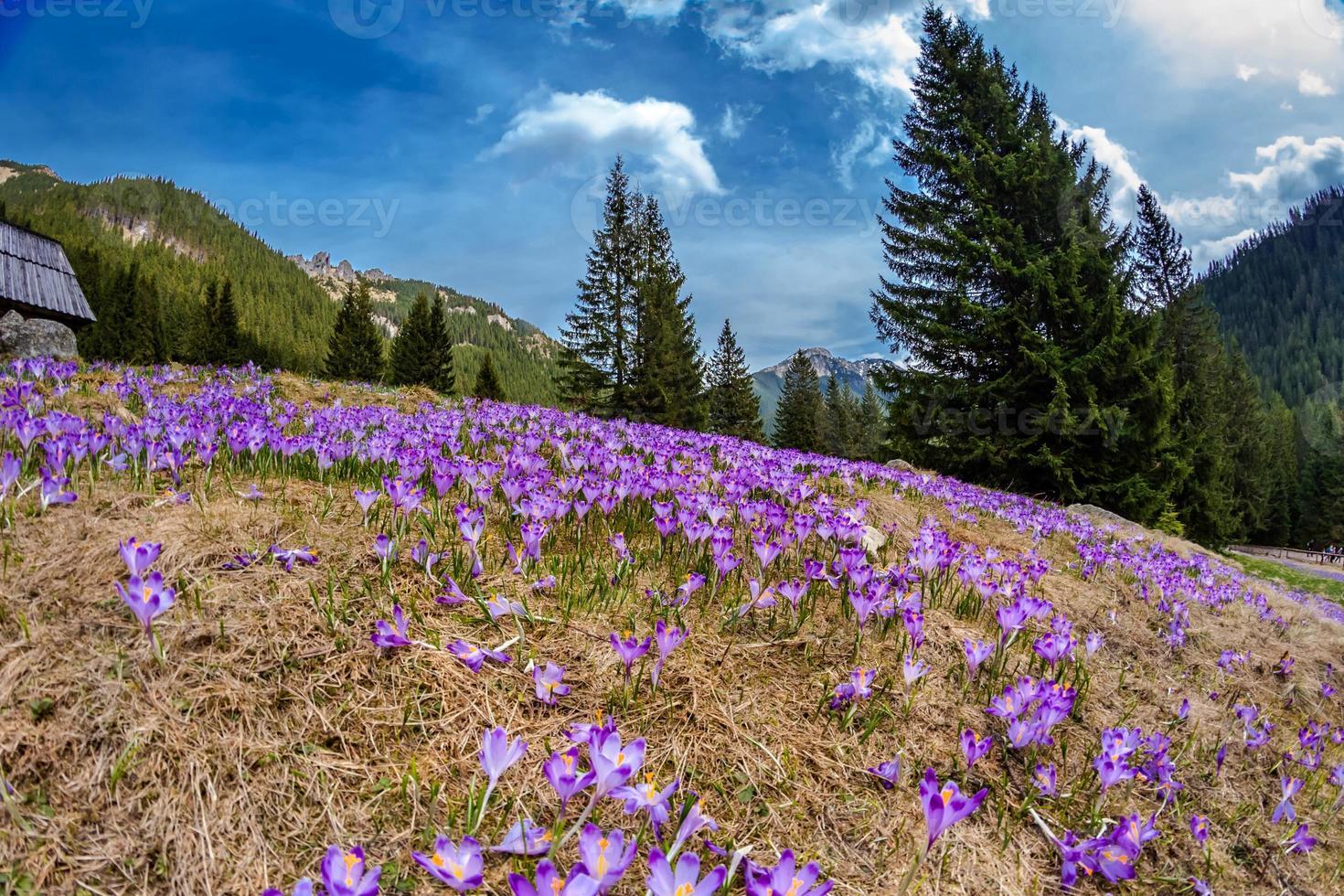 Beautiful crocus flowers in Tatry photo