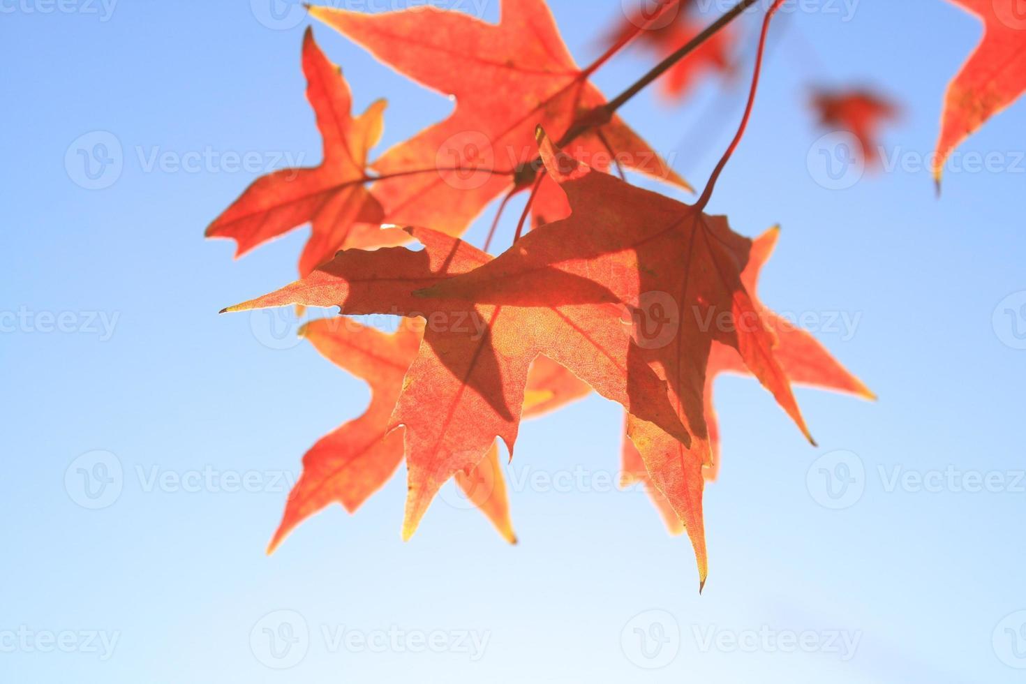 autumn maple leaves photo