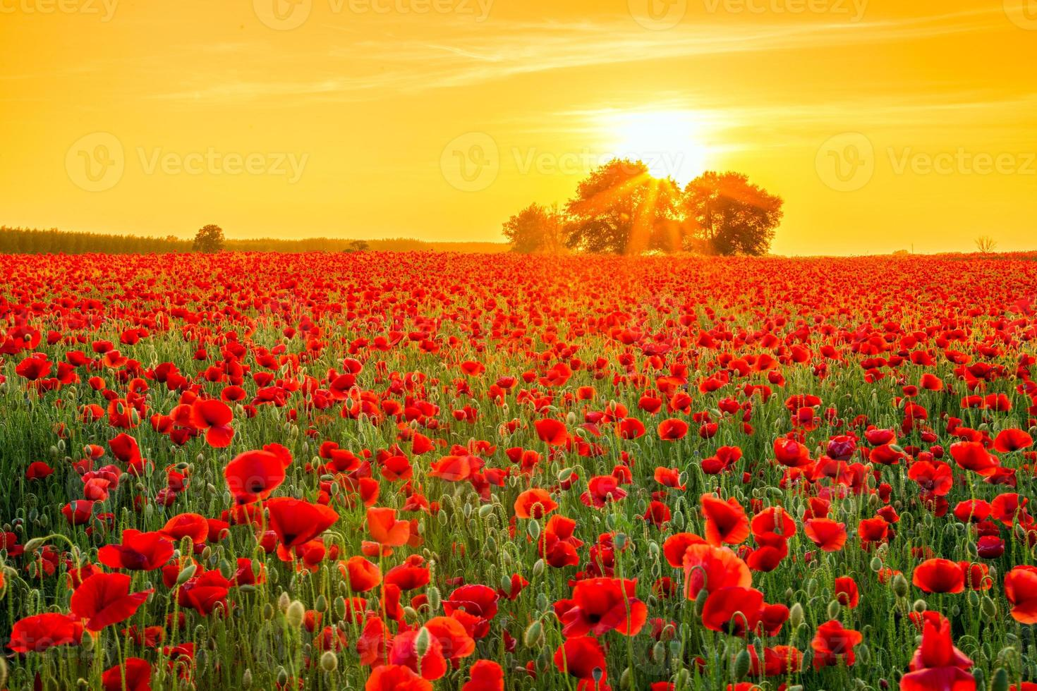 Poppies field at sunset in summer photo