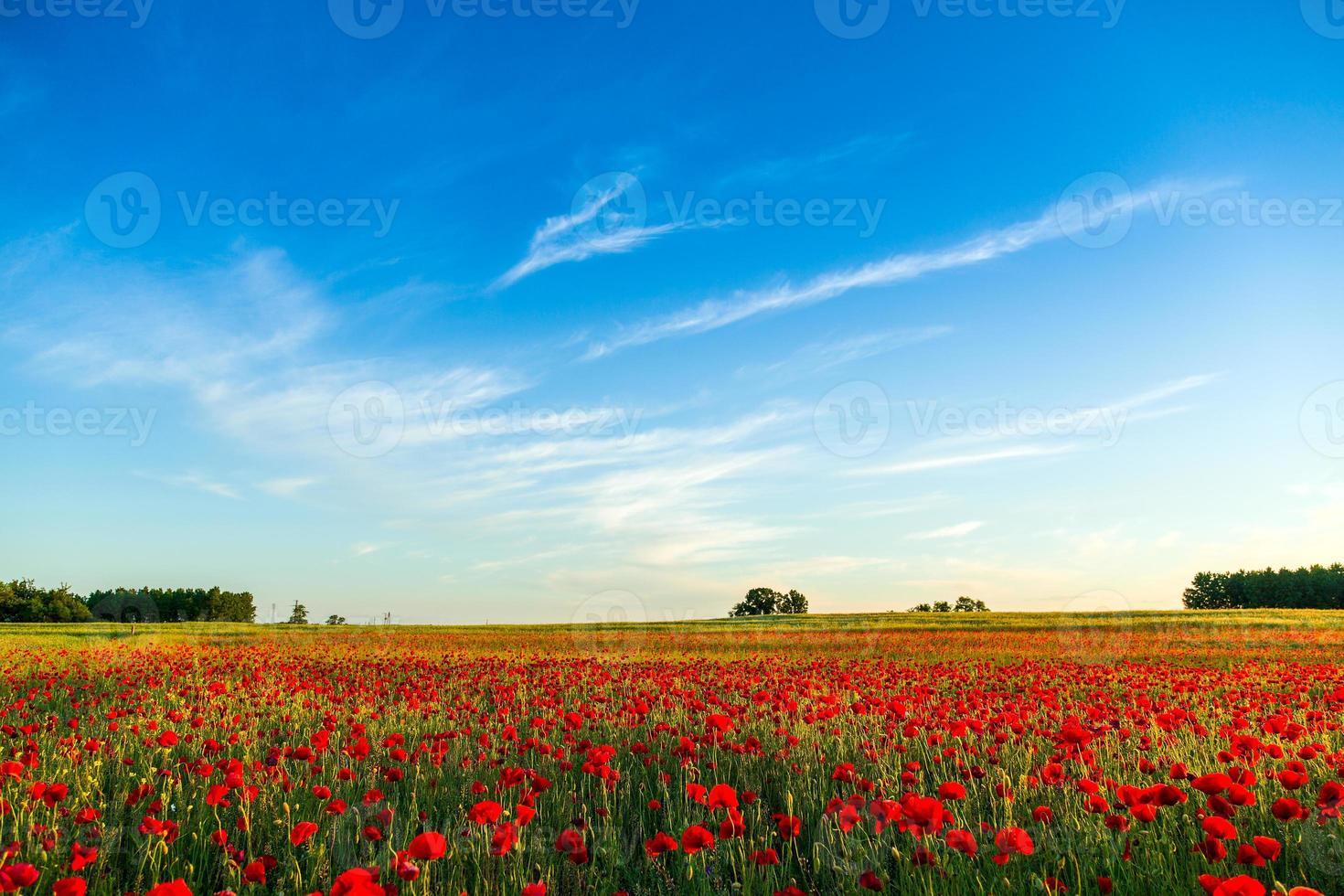 Poppies field at sunset photo