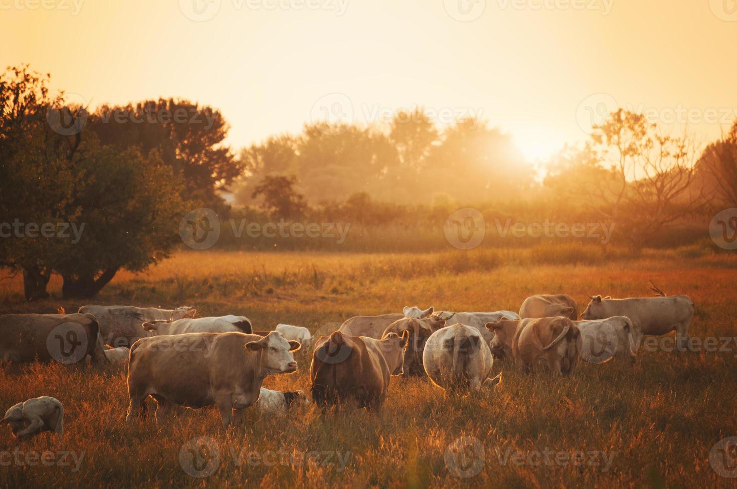 vacas en pasto foto