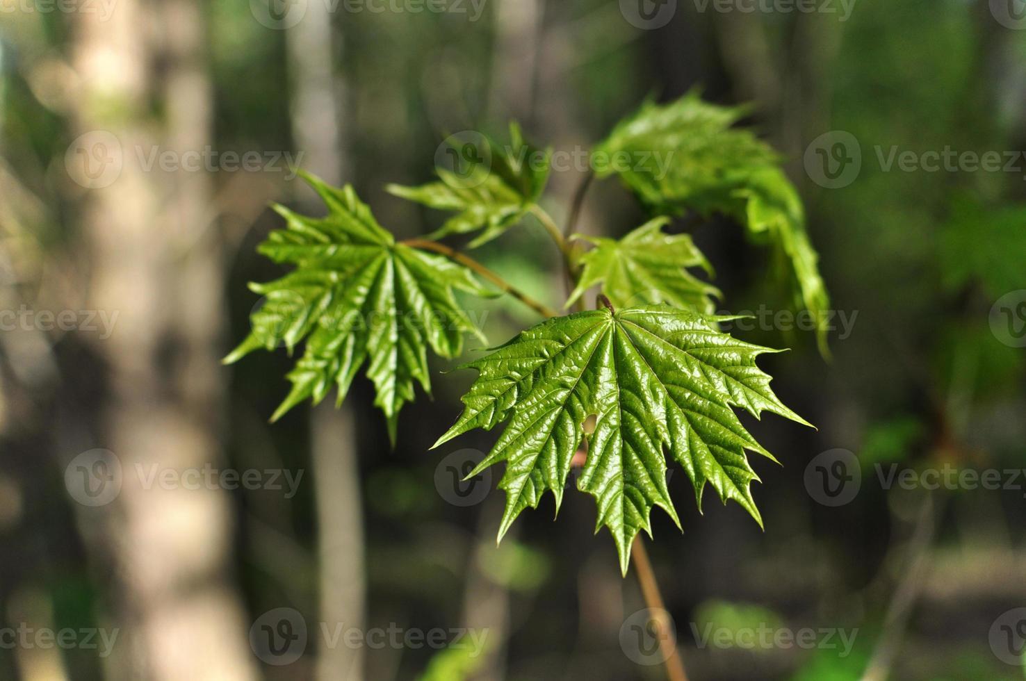 hojas de arce jóvenes foto