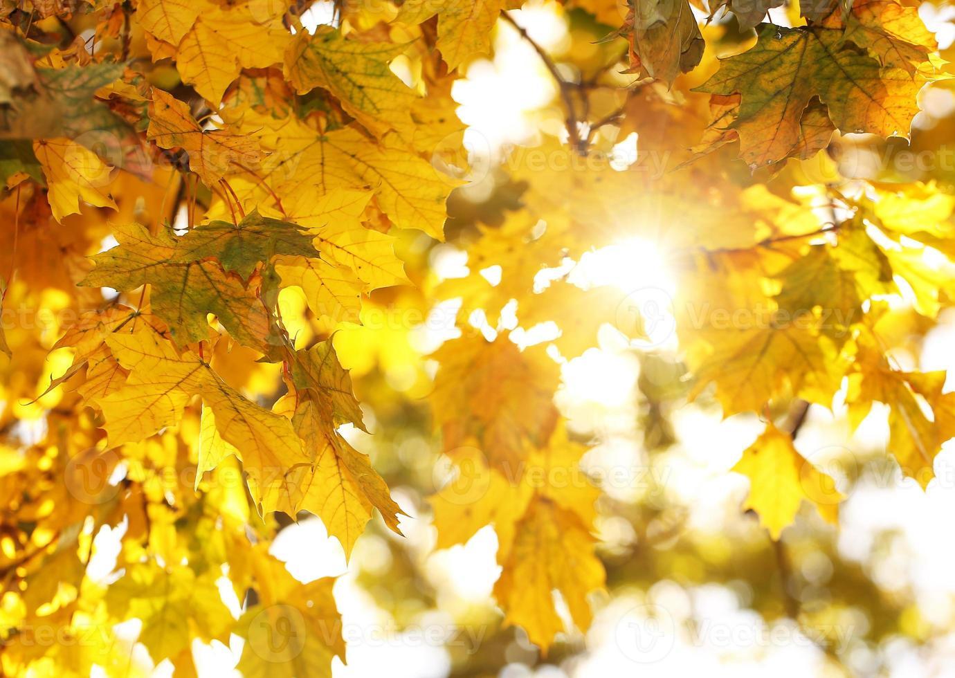 otoño. hojas de arce otoñal. foto