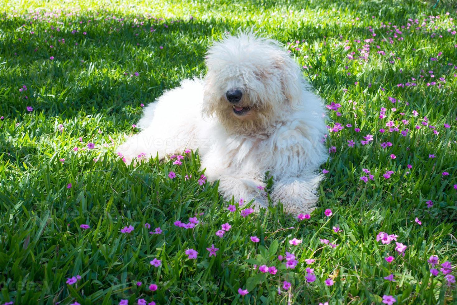 Lindo perro joven komondor acostado sobre una pradera de flores foto