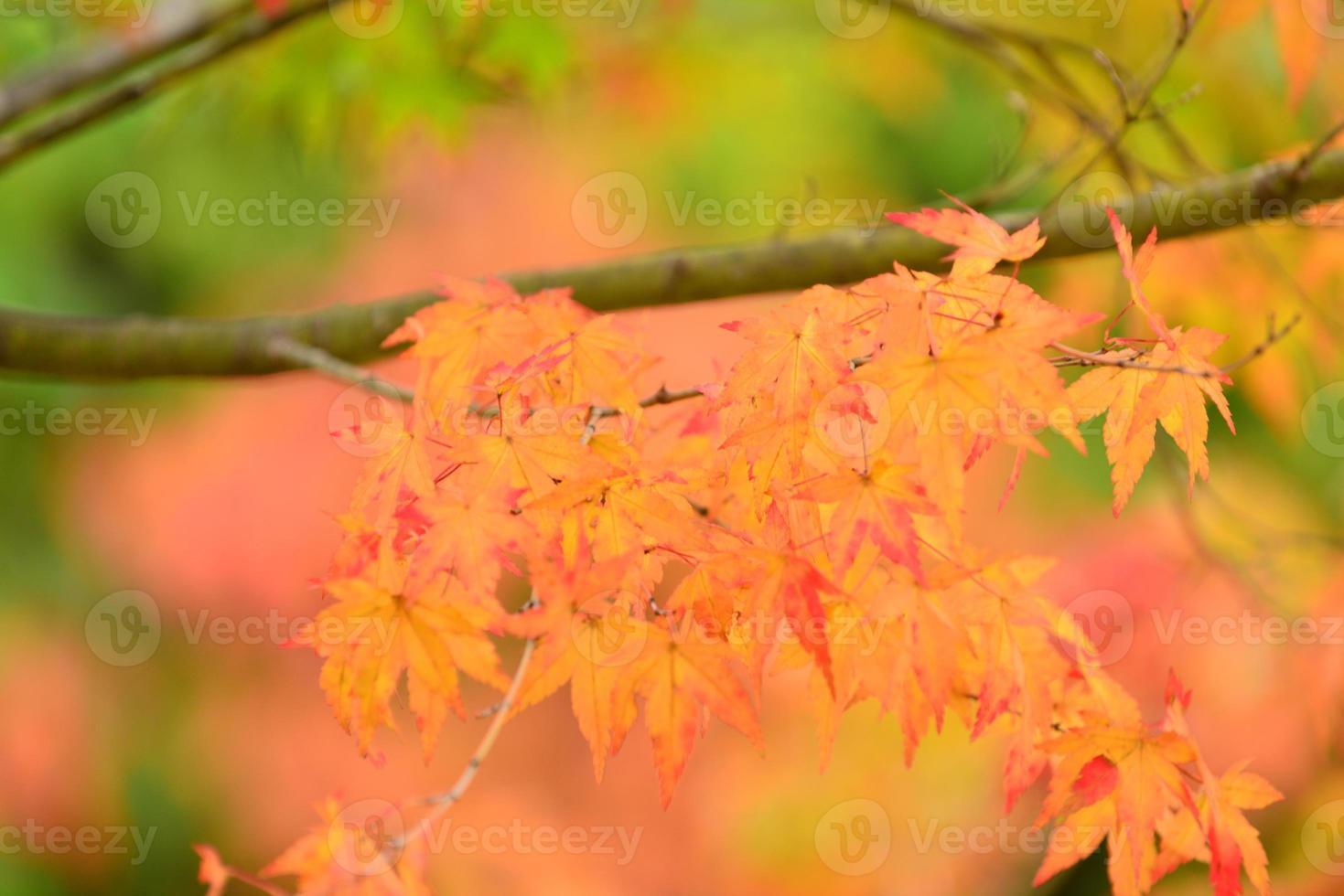 colores de otoño en el norte de japón foto
