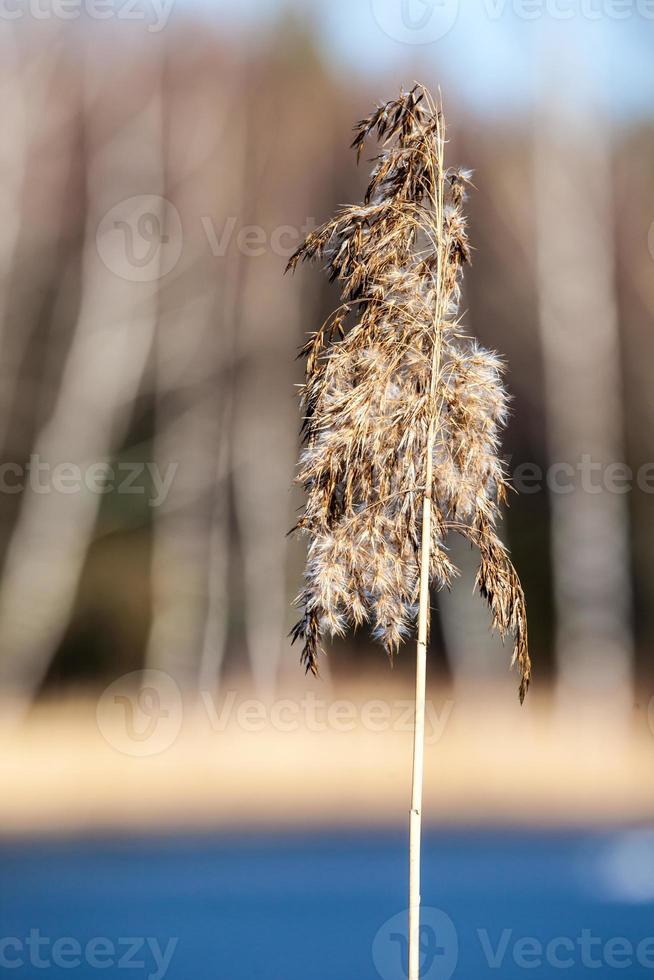 pasto seco en invierno, polonia. foto