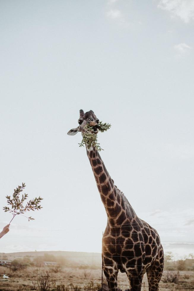 Giraffe eating plants from a person photo