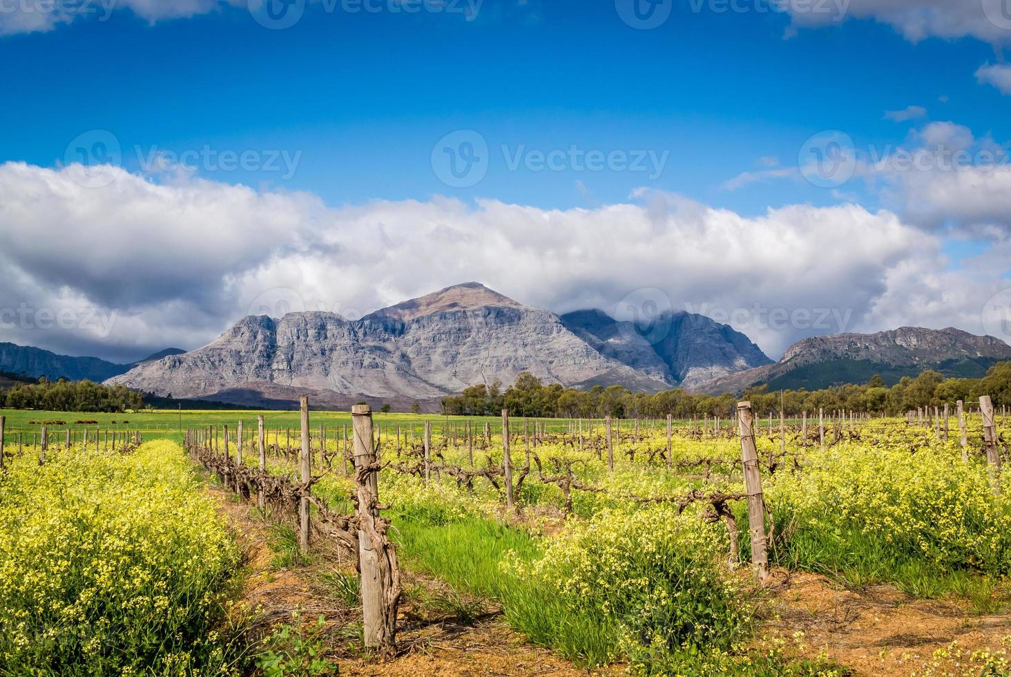 Winter Vineyard with Canola and mountains photo