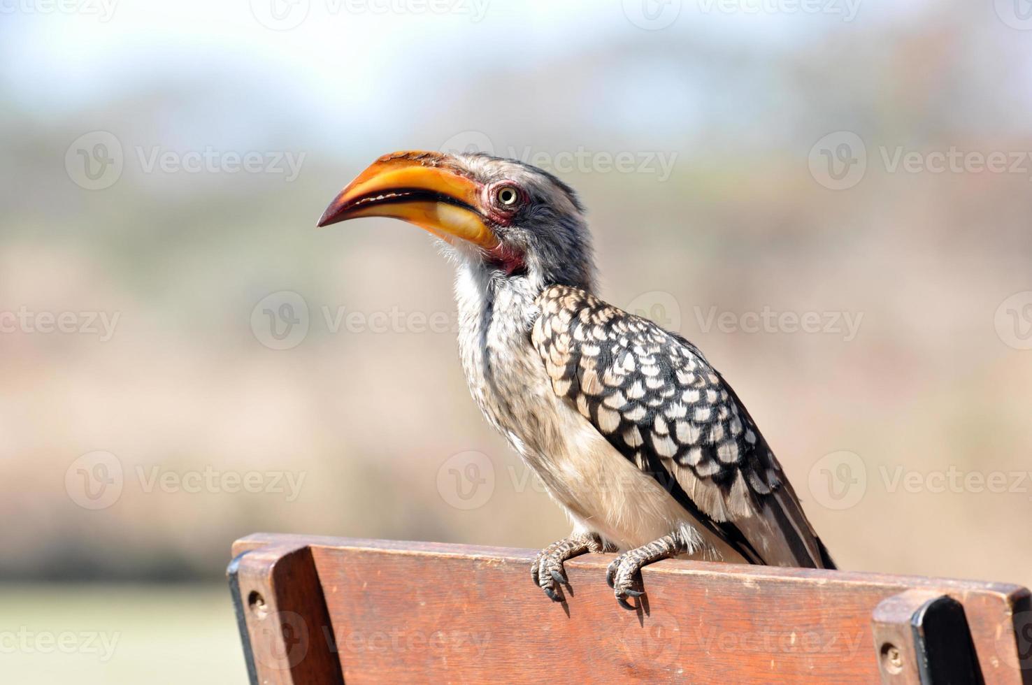 Southern Yellowbilled Hornbill photo
