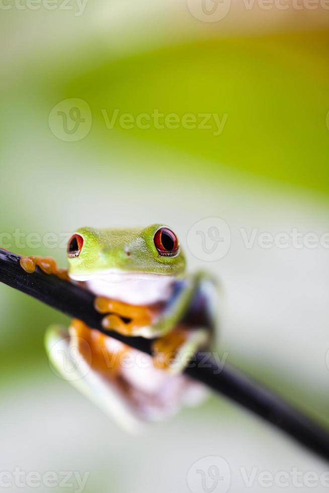 Red eye tree frog photo
