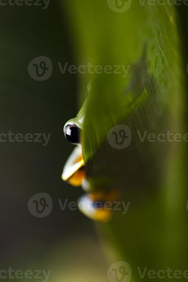 Flying Frog, Rhacophorus reinwardtii photo