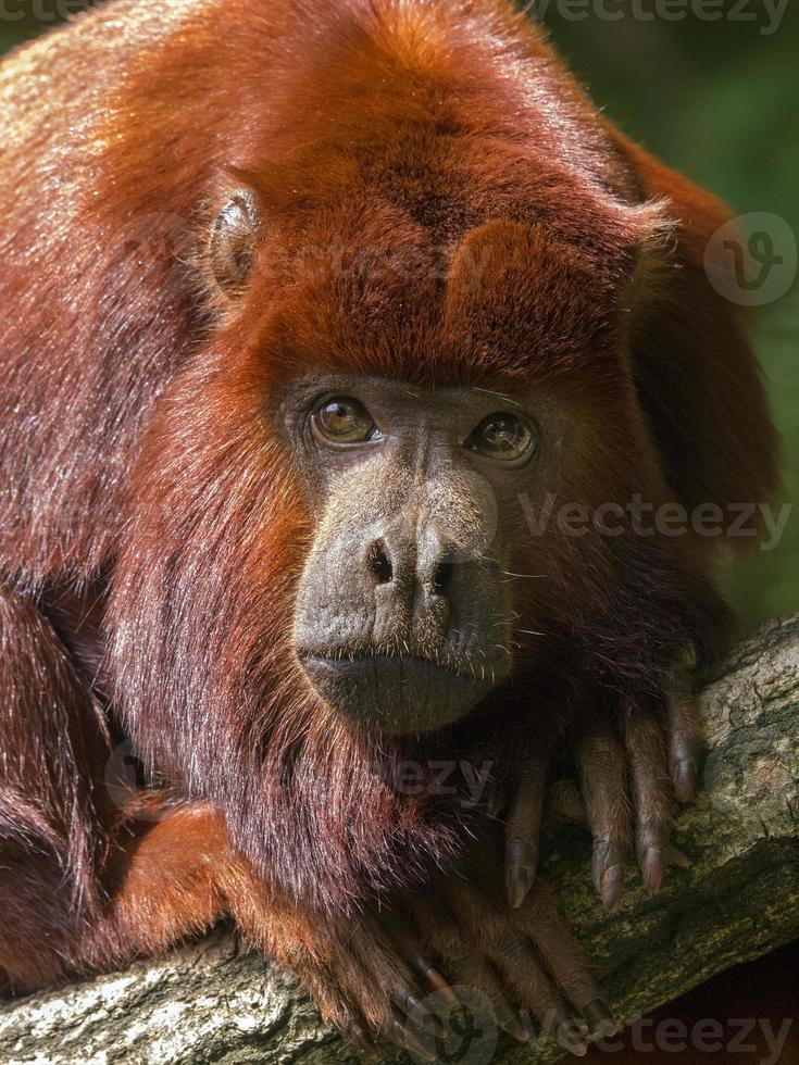 Howler monkey photo