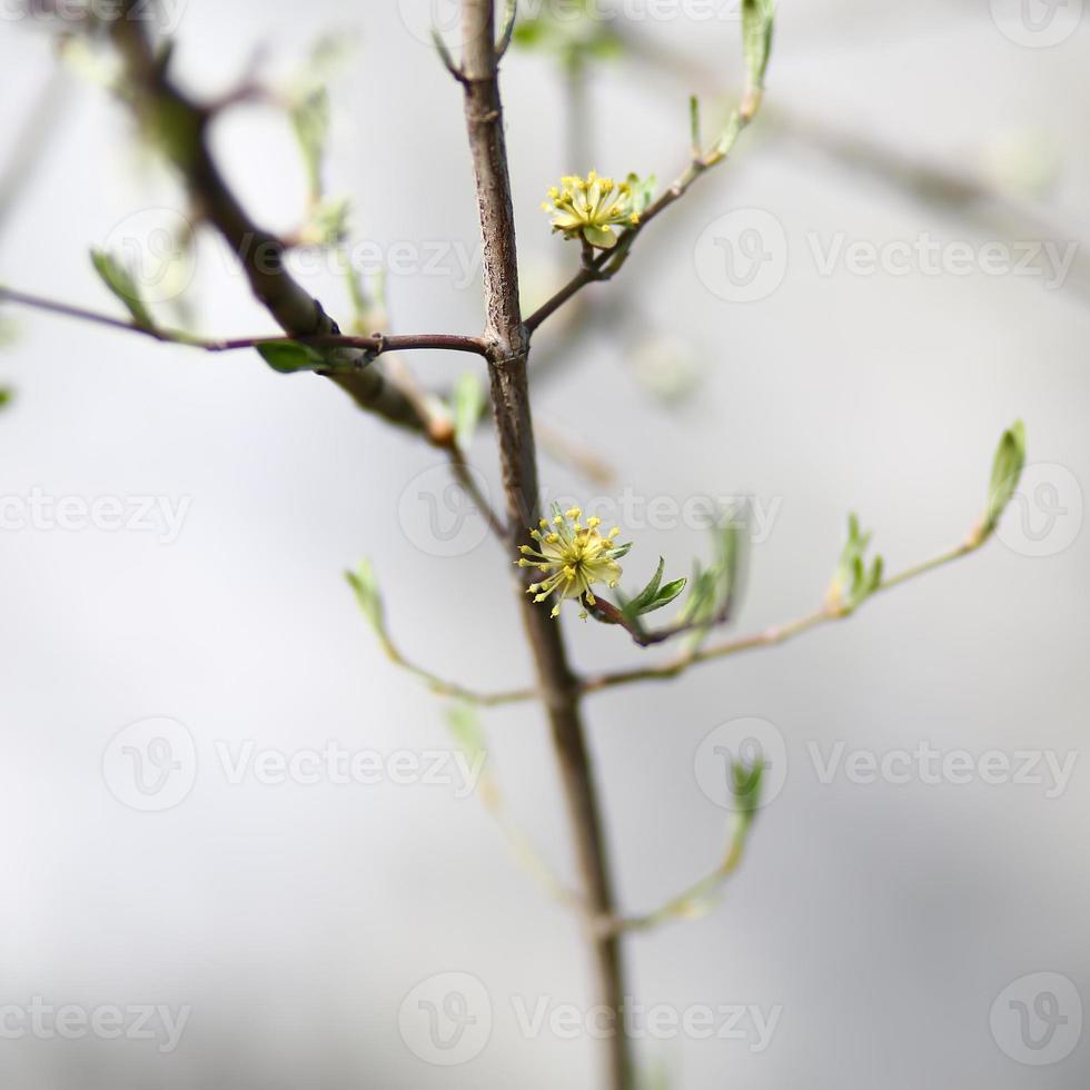cornejo floreciente foto