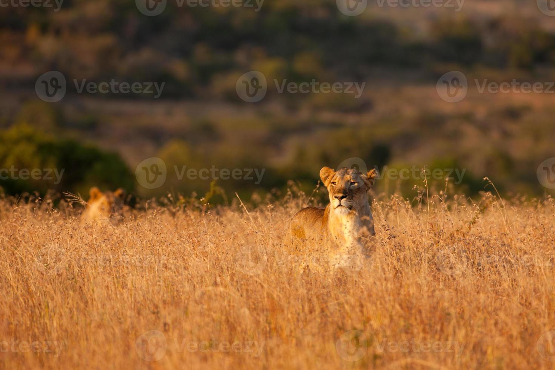 leonas acechando a través de la hierba alta foto