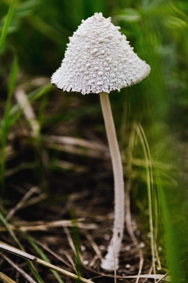 Close-up of white mushroom photo