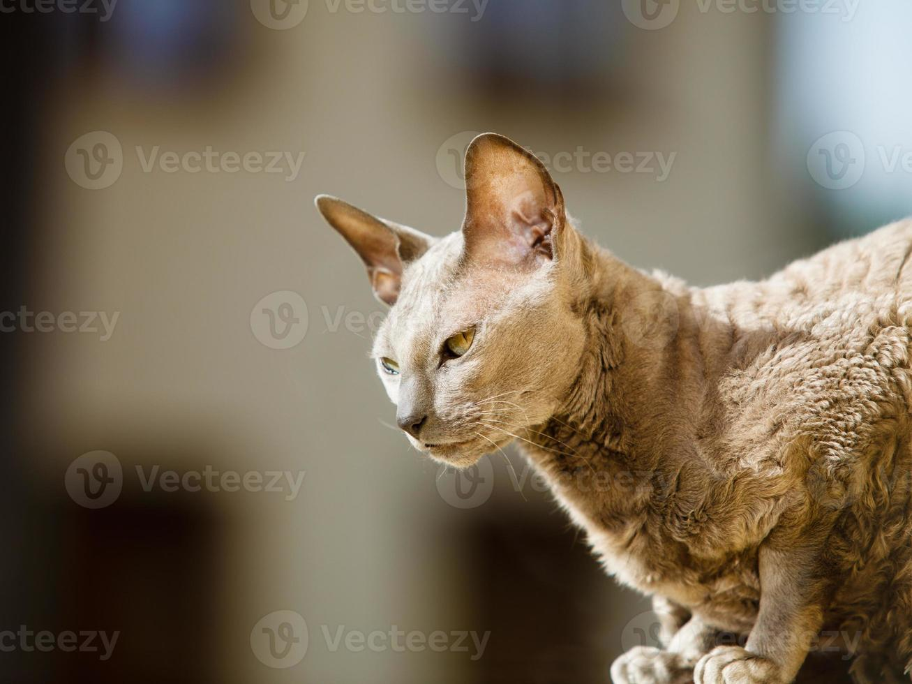 Animals at home. Egyptian mau cat photo