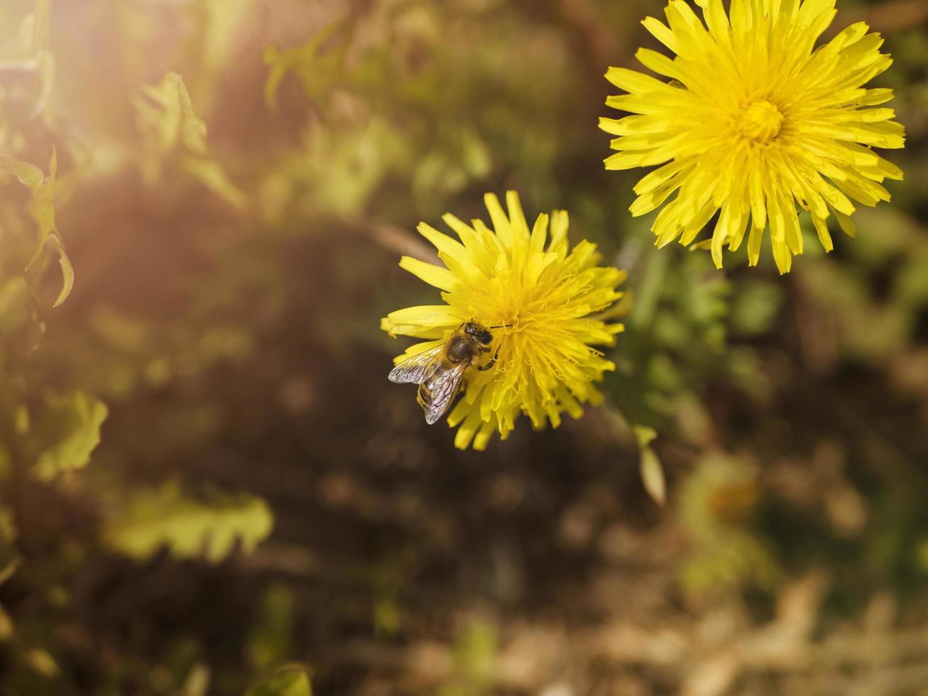 abeja en dientes de león foto