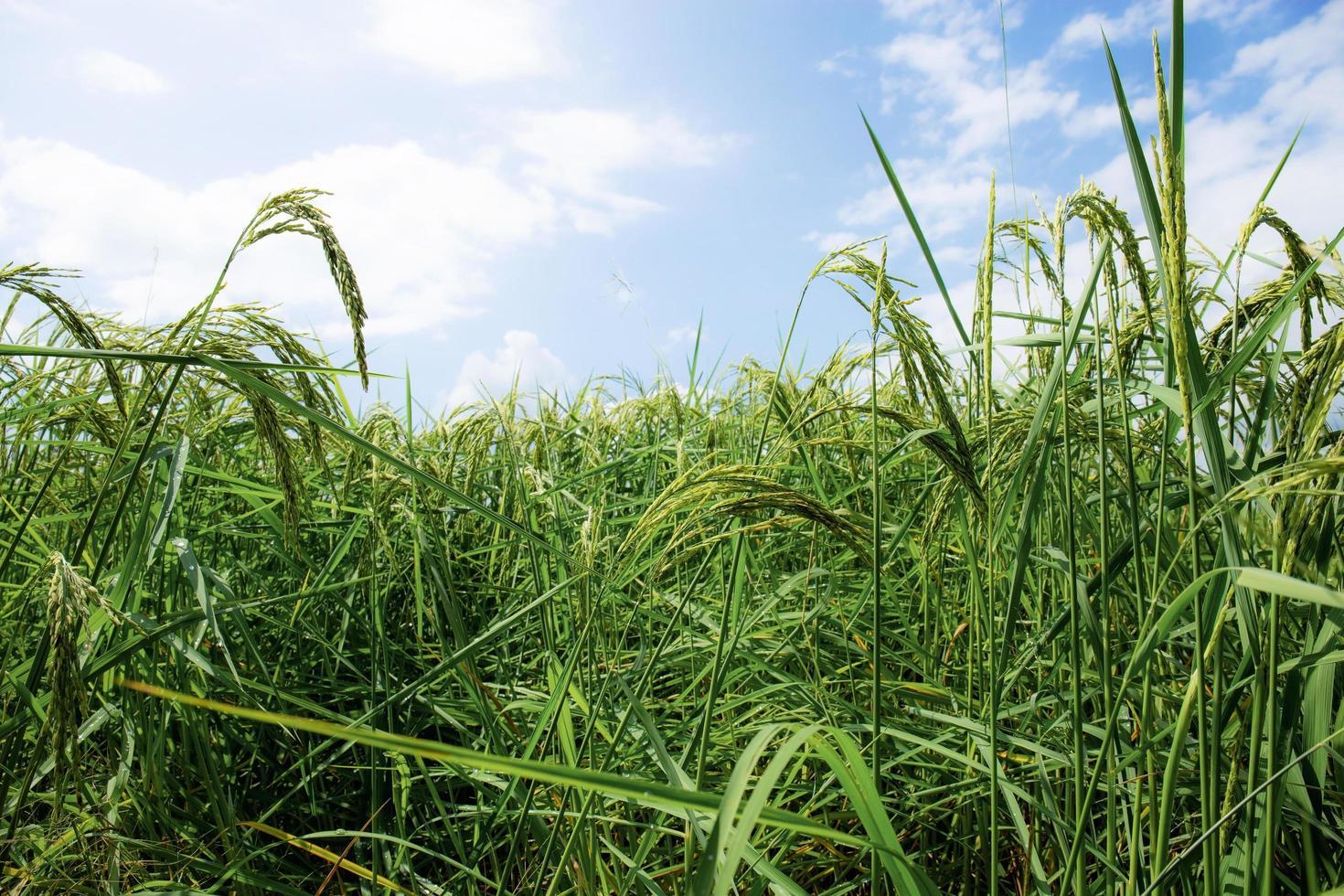 Ears of rice in fields photo