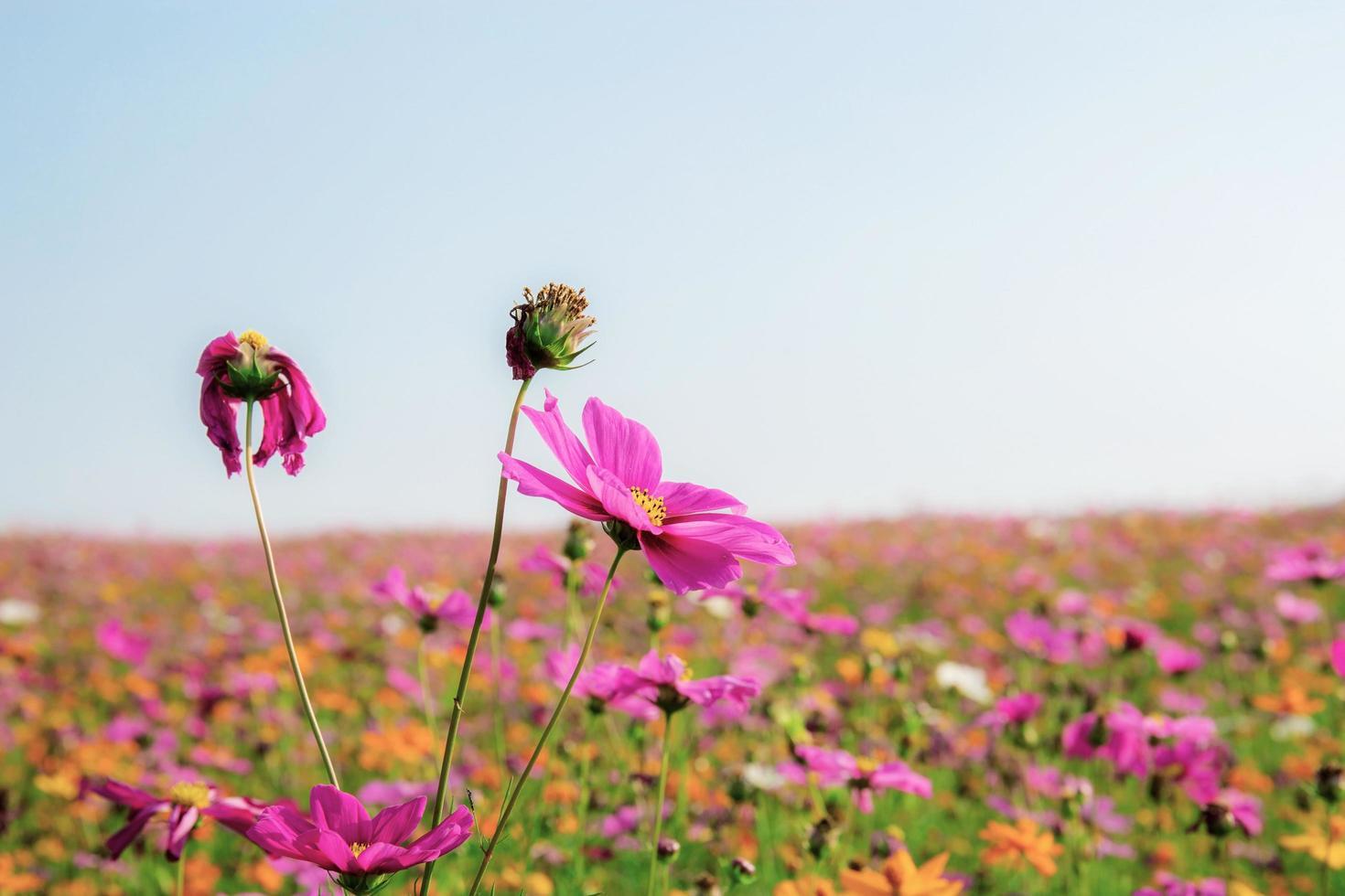 Pink cosmos flower in field photo