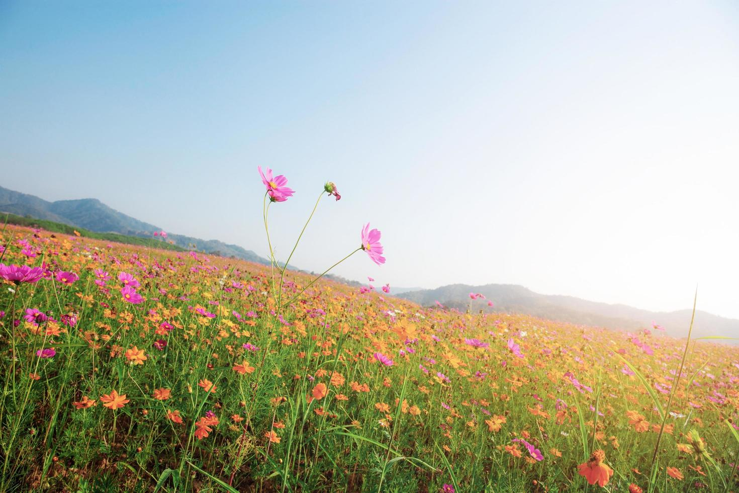 Cosmos flowers in sunlight photo