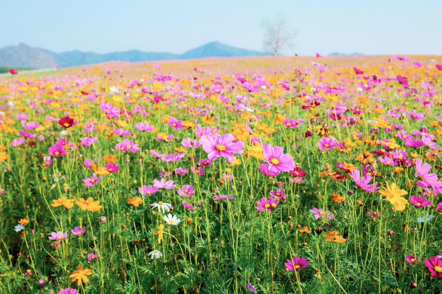 hermosas flores del cosmos foto