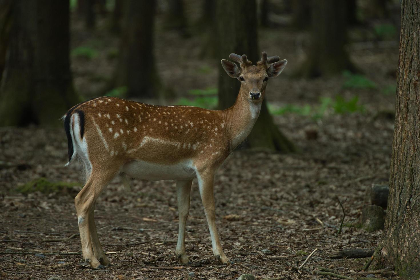 Roe deer in the forest photo