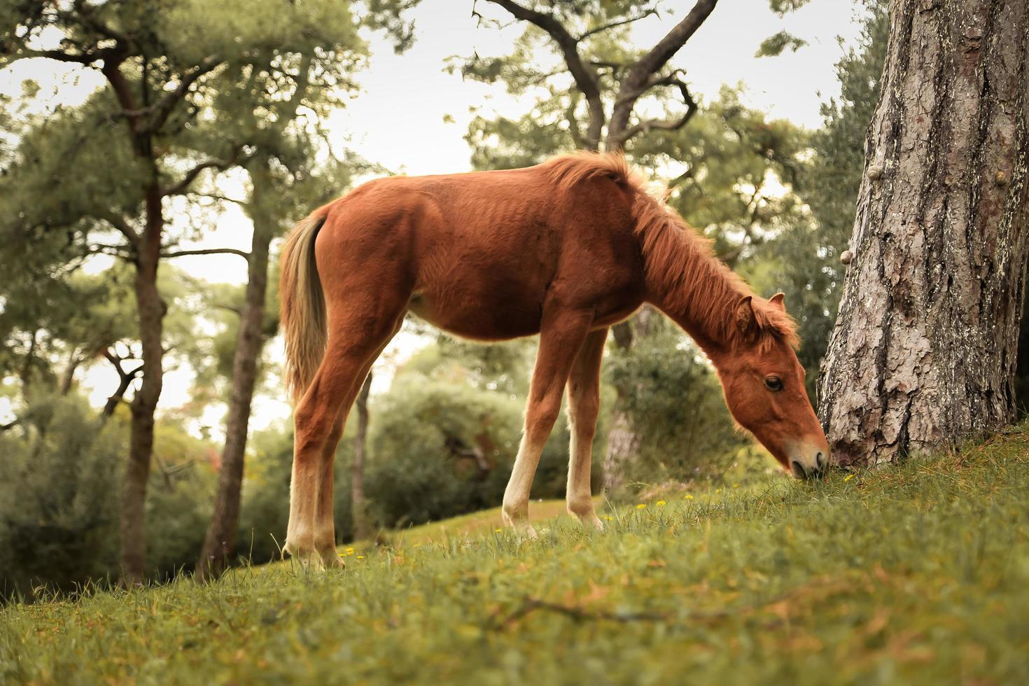 Potro castaño joven pastando en prado verde foto