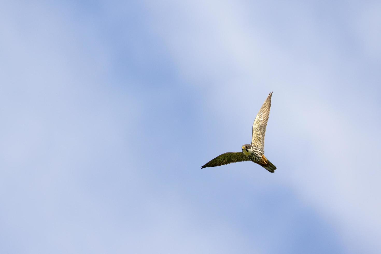 Eurasian hobby flying overhead photo