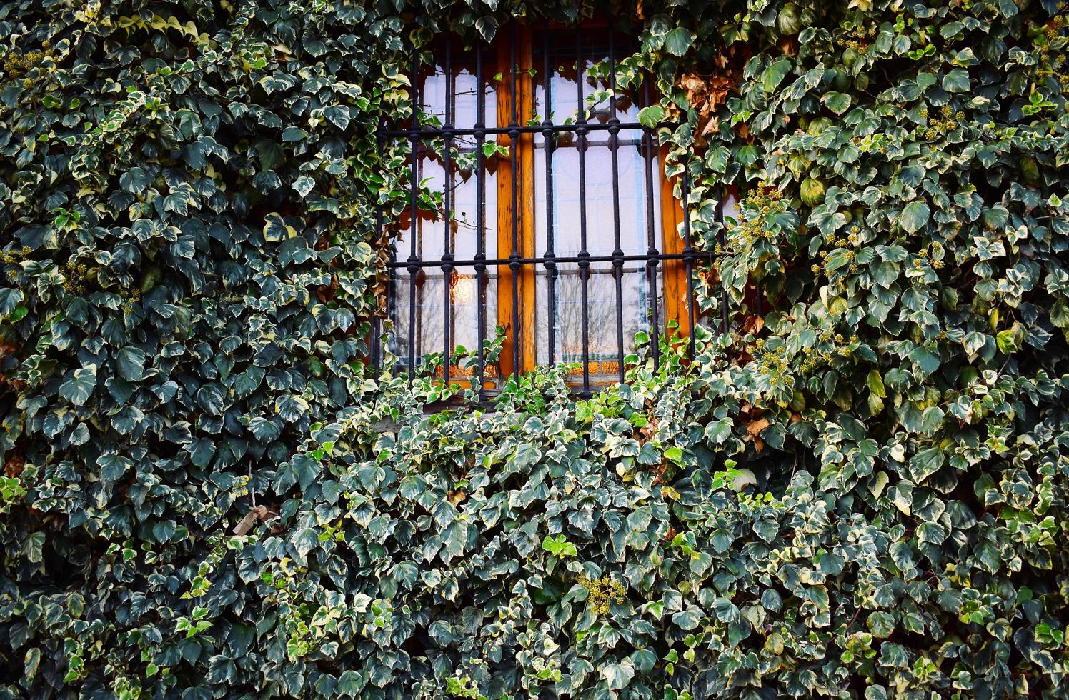Closed iron window with ivy plants photo
