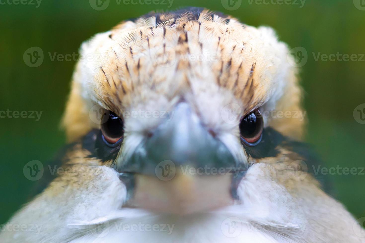 Laughing Kookaburra (Dacelo novaeguineae) photo