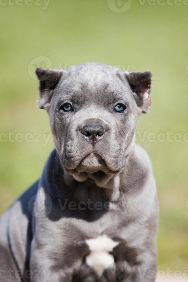 Retrato de un cachorro gris cane corso sobre la hierba foto