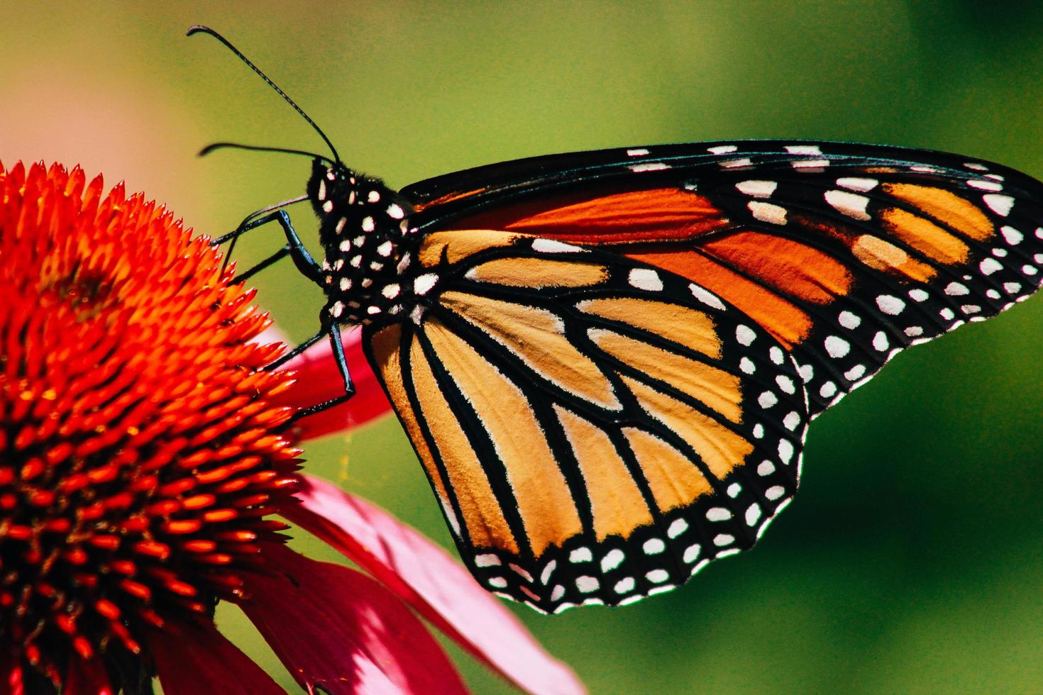 Close-up of a monarch butterfly on flower photo