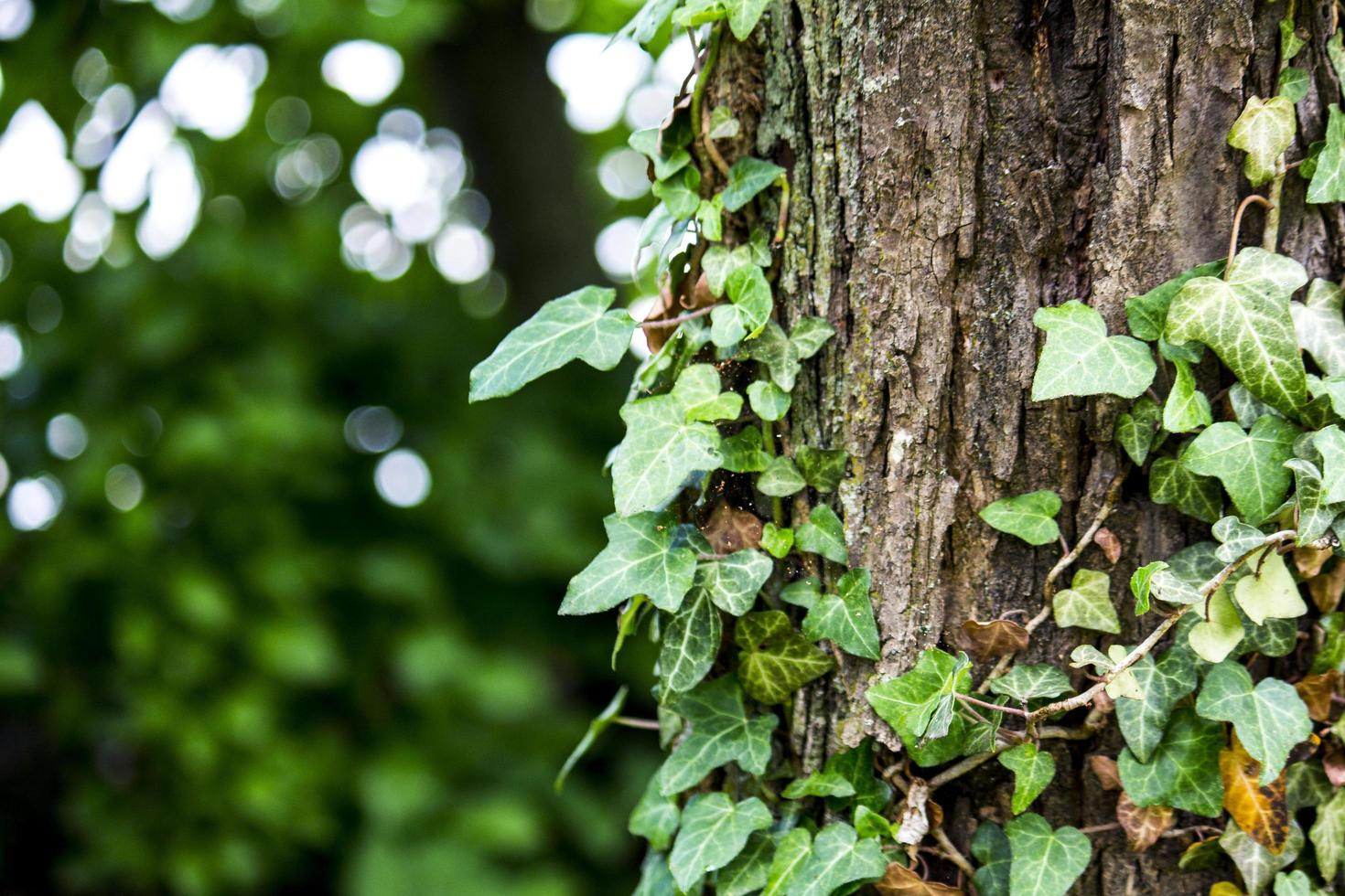 Ivy growing along a forest tree photo
