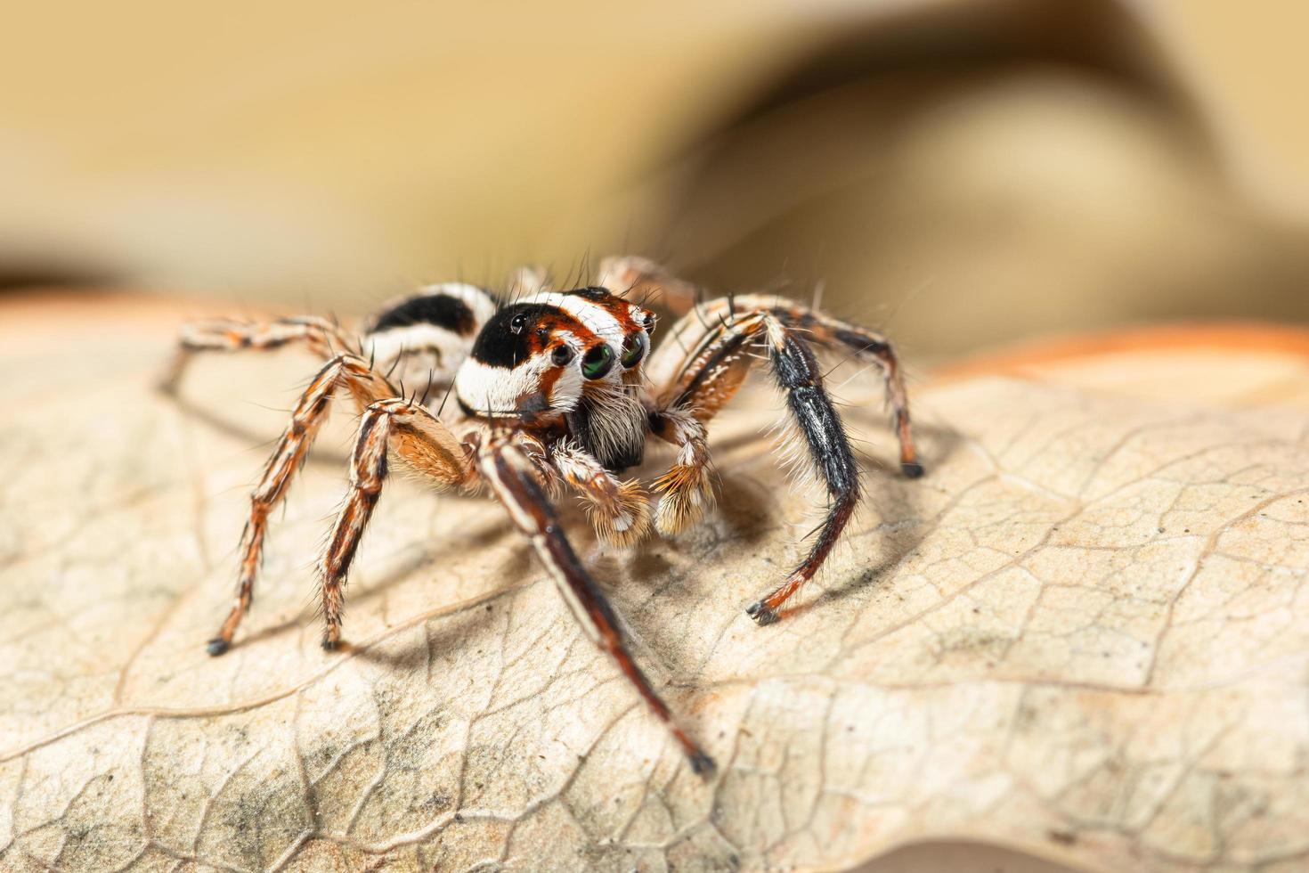 Araña saltadora marrón sobre una hoja seca foto