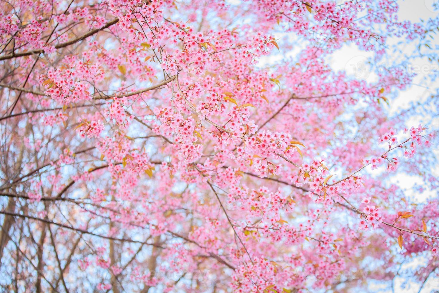 hermosa flor de cerezo foto