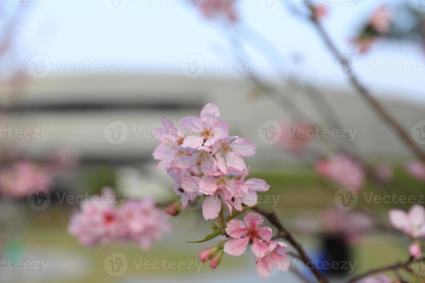 bela flor de cerejeira em hong kong foto