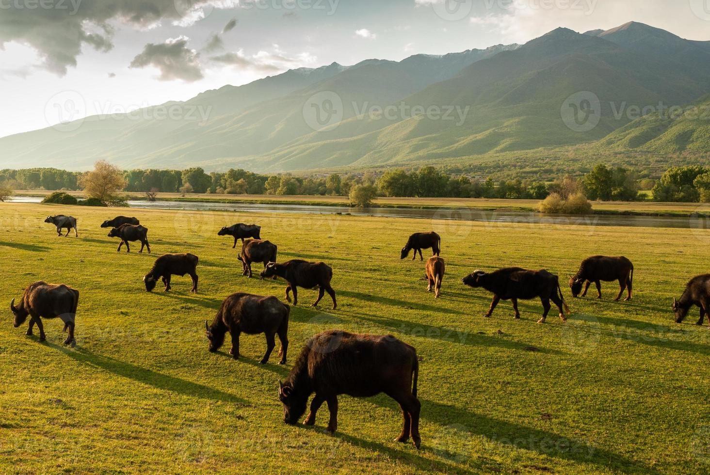 Buffaloes in Greece photo