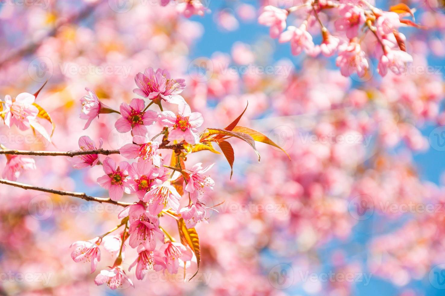flor de sakura rosa floreciendo foto