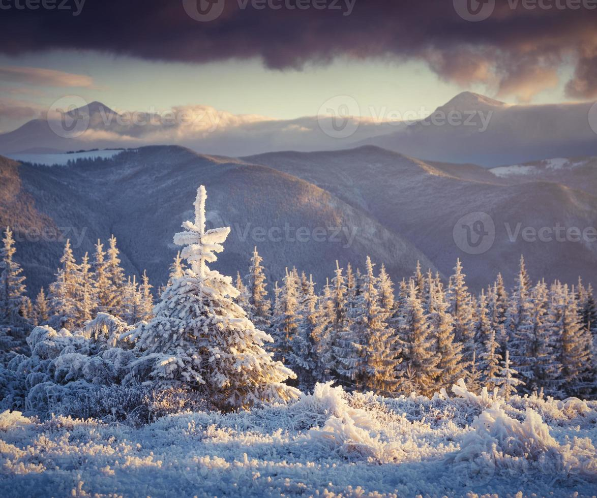 Abeto pequeño congelado en las montañas de invierno al amanecer. foto