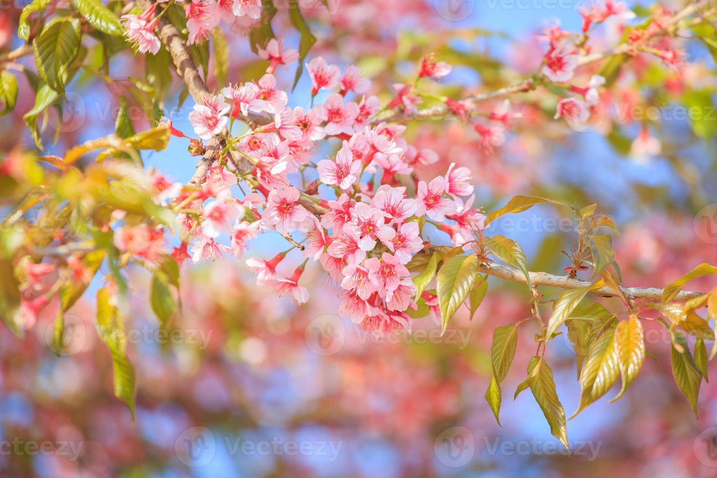 linda flor de cerejeira foto