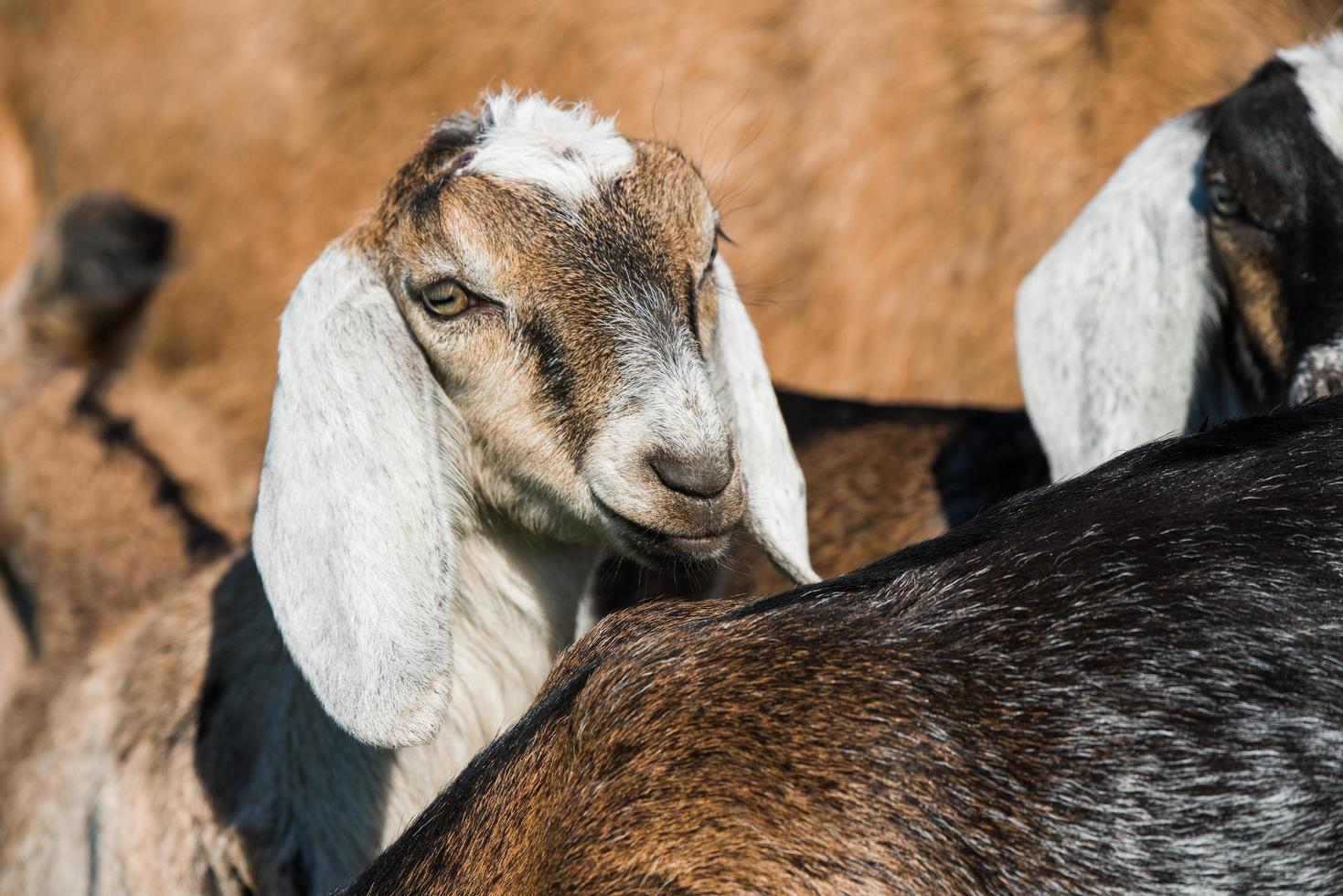 South African boer goats photo