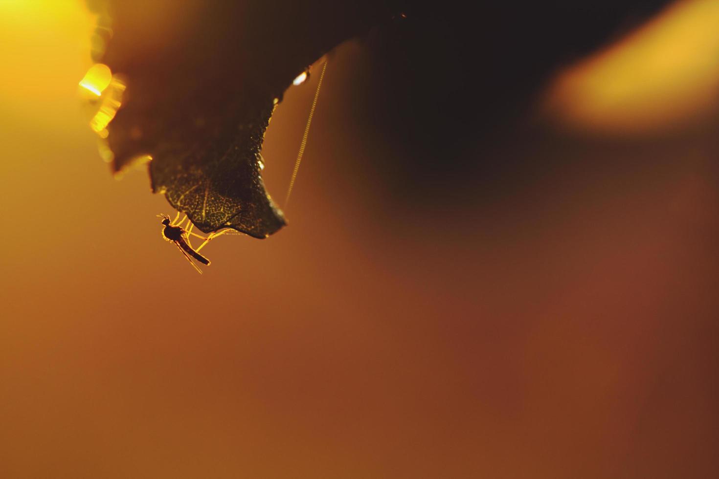mosquito en una hoja durante el amanecer foto