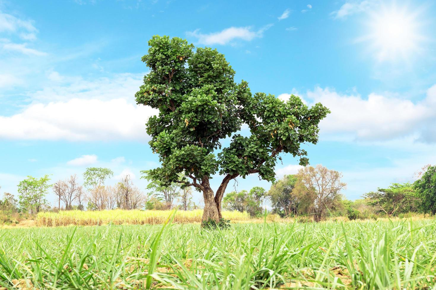 Green tree isolated on nature background photo