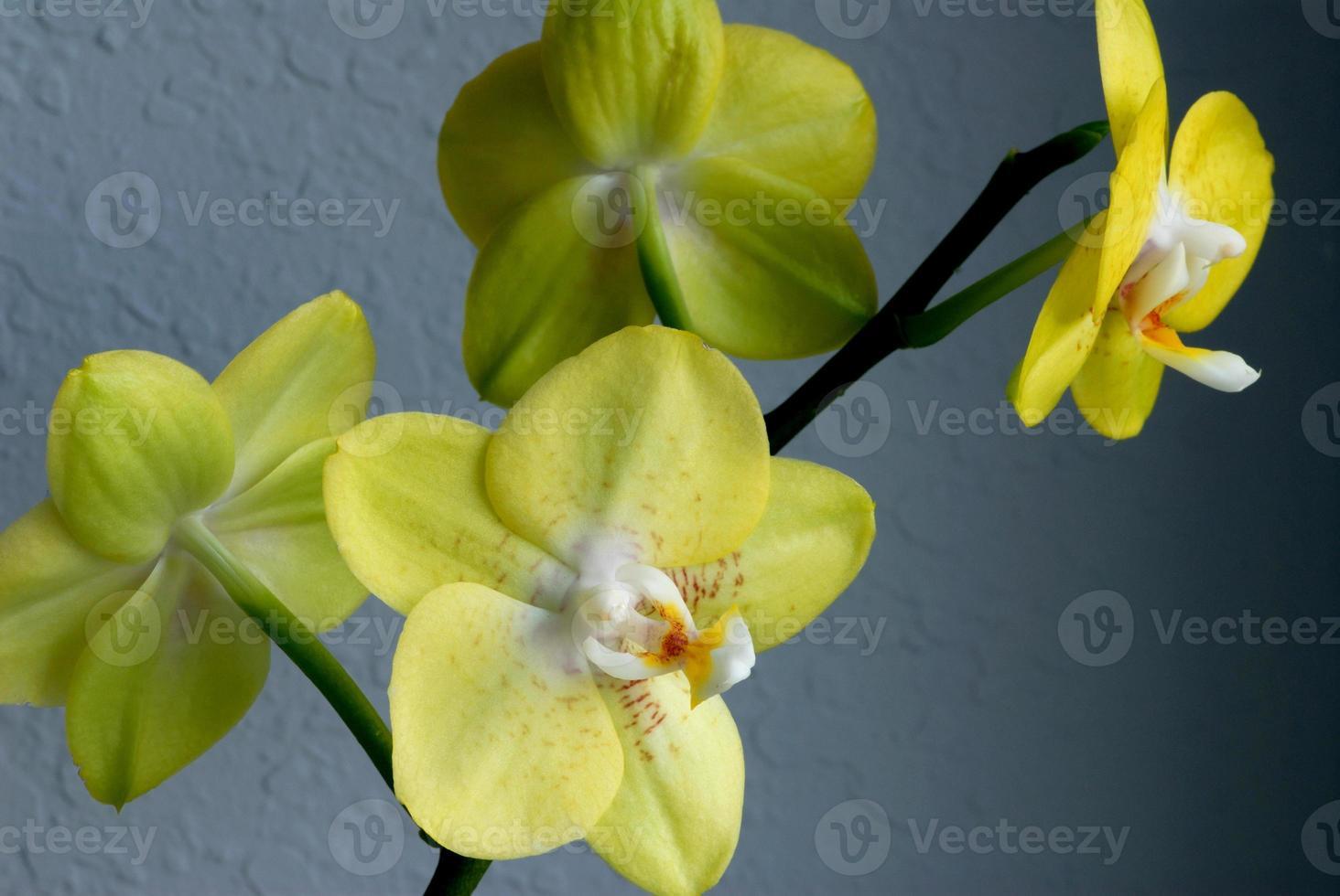 orquídea vanda verde foto